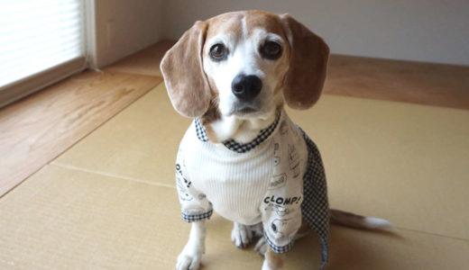 ビーグル犬はじっとしていられない?いいえ、教えれば待てます。